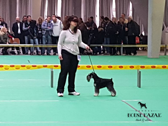 "Repitition's Shogun ""Vuk"" (Repitition's Valedictorian & Myla's The Devil Wears Prada )10 months old, on his first show - junior class - V1, JCAC, Best junior, BOB, Junior BOG"