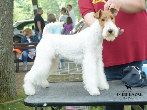 fox terrier wire - ostrodlaki fox terijer