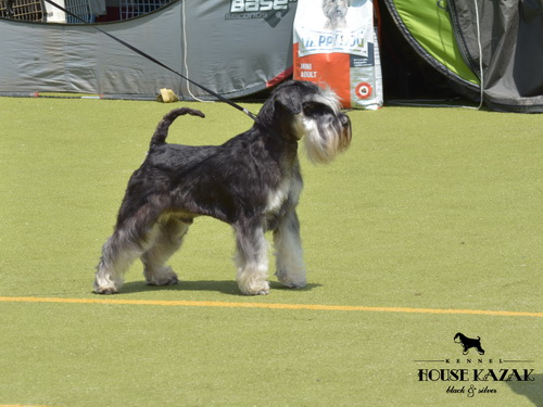 House Kazak Octane - open class - V1, CAC, Best Male, Club Winner 2016, BOB, Best in Show